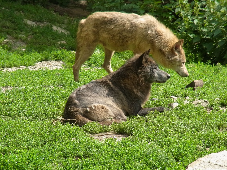 wolves-58998_960_720
